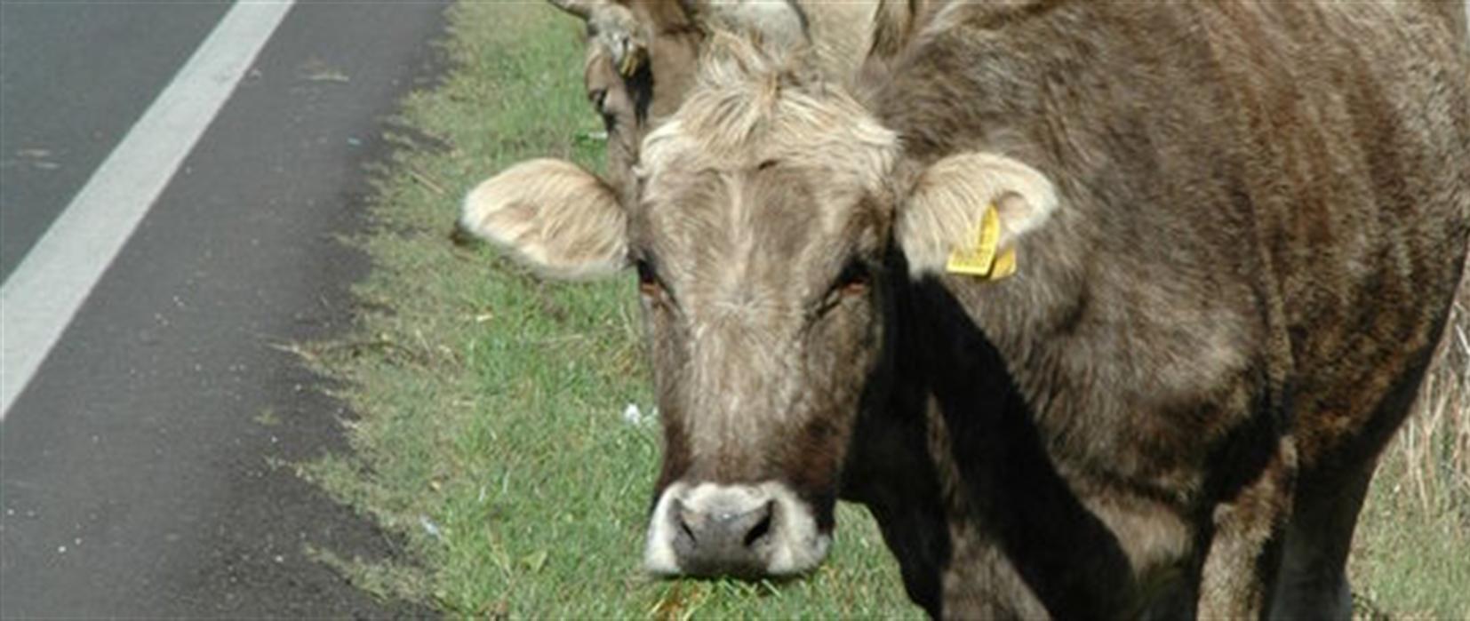 Ecco le mucche anti-roghi Sono delle vere sentinelle contro gli incndi