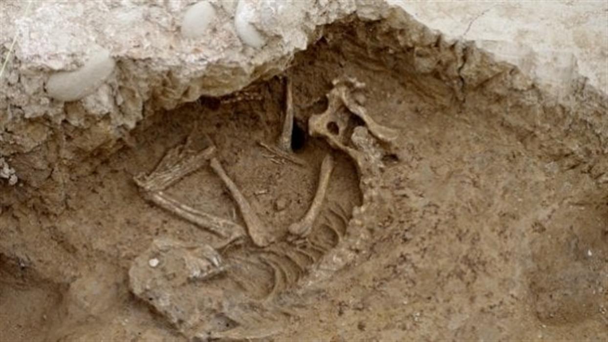 Dalle antiche terme riemerge un cane vissuto duemila anni fa  Lo scheletro era sotto la Domus Aemilia, risalente al II-I secolo a.C.