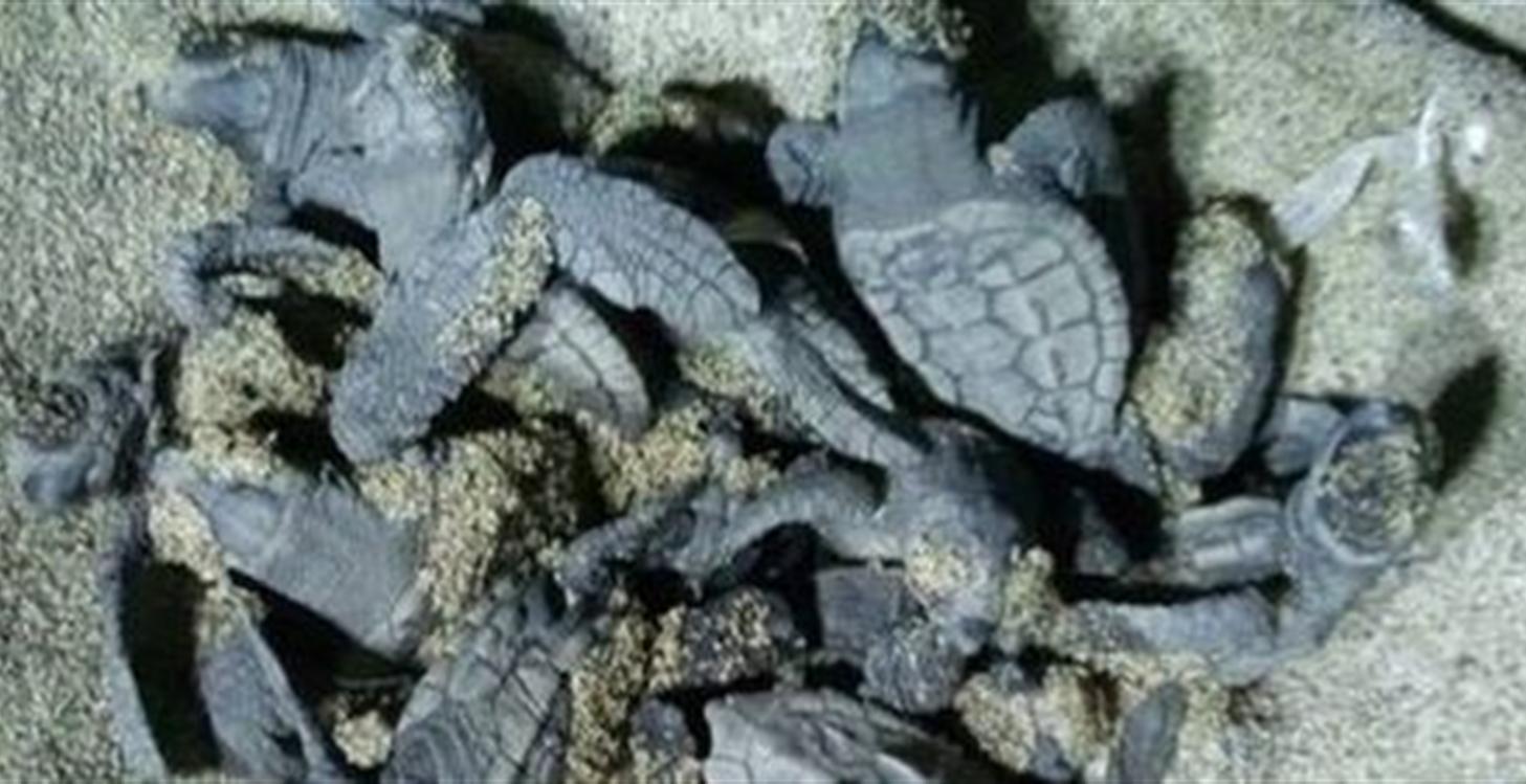 Ascea, nate 84 tartarughe caretta caretta Si rinnova il miracolo dell nascita nel Cilento