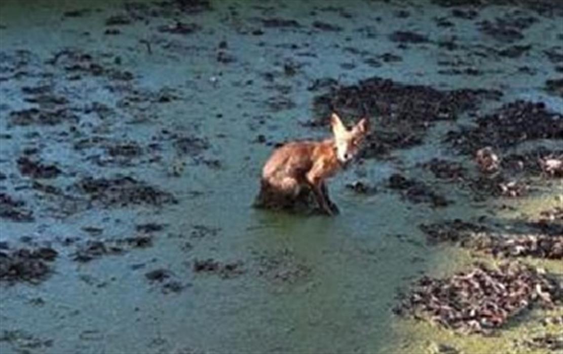 Salvata una volpe finita nella vasca del Real Bosco di Capodimonte