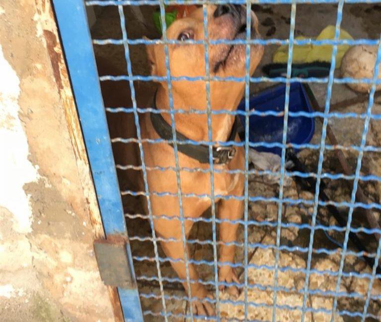Due cani pitbull di un detenuto erano nascosti in una gabbia e curati dal figlio minorenne