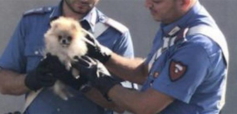 Ruba un cucciolo e lo nasconde in borsa. Carabinieri lo salvano