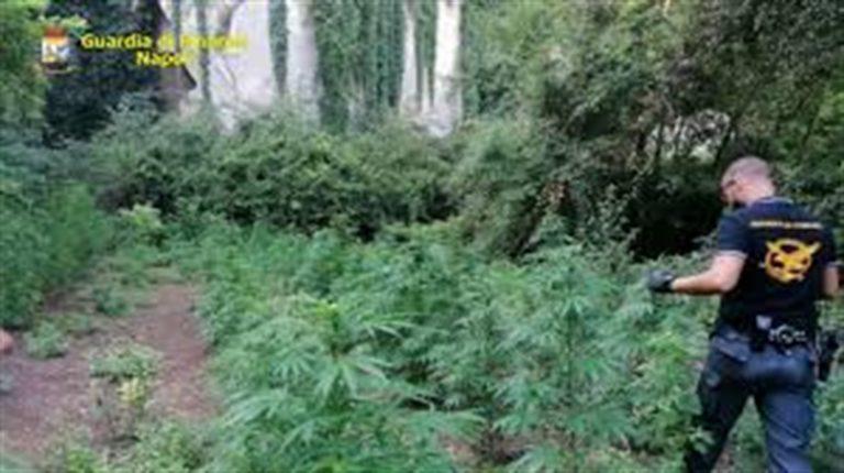 Scoperte piante di cannabis