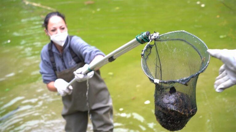 Le tartarughe del Museo e Real Bosco di Capodimonte spostate dalla fontana di Mezzo alle vasche del Giardino Torre